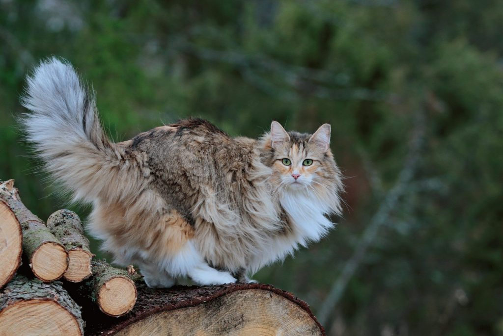 How Big Do Norwegian Forest Cats Get