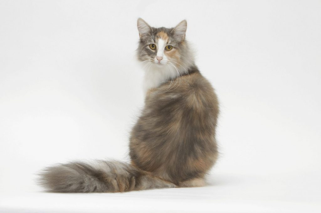 Norwegian Forest Cat Health
