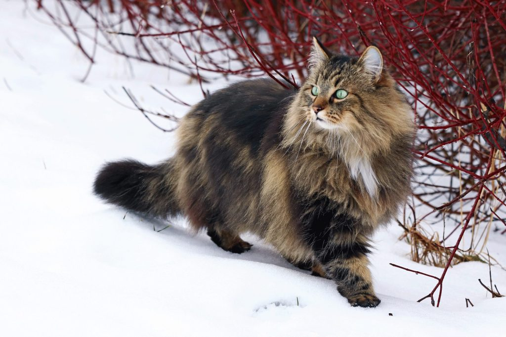 Norwegian Forest Cat Personality