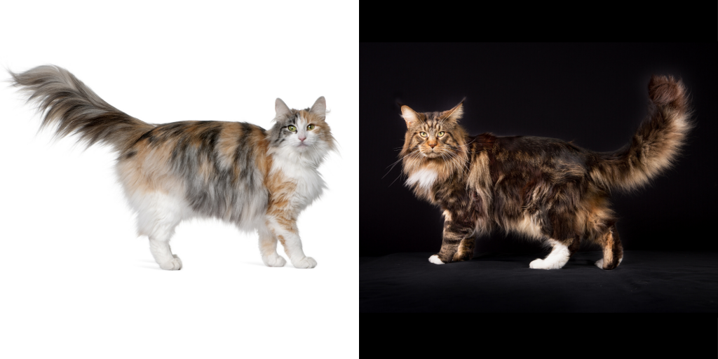 Norwegian Forest Cat vs. Maine Coon