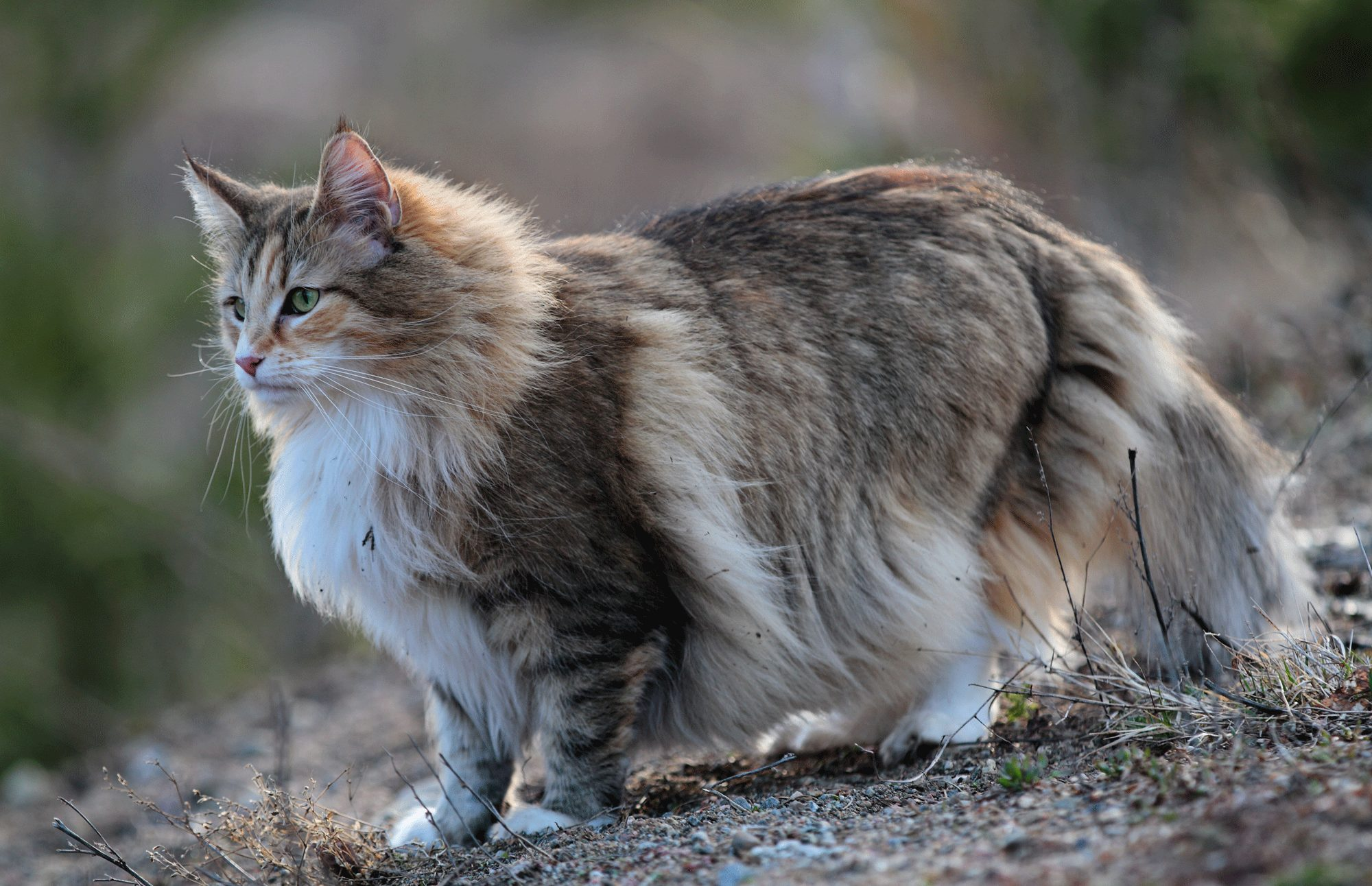 How to Identify a Norwegian Forest Cat