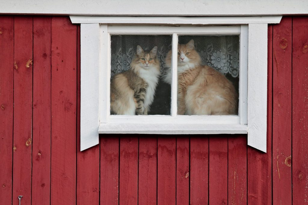 Male vs. Female Norwegian Forest Cat
