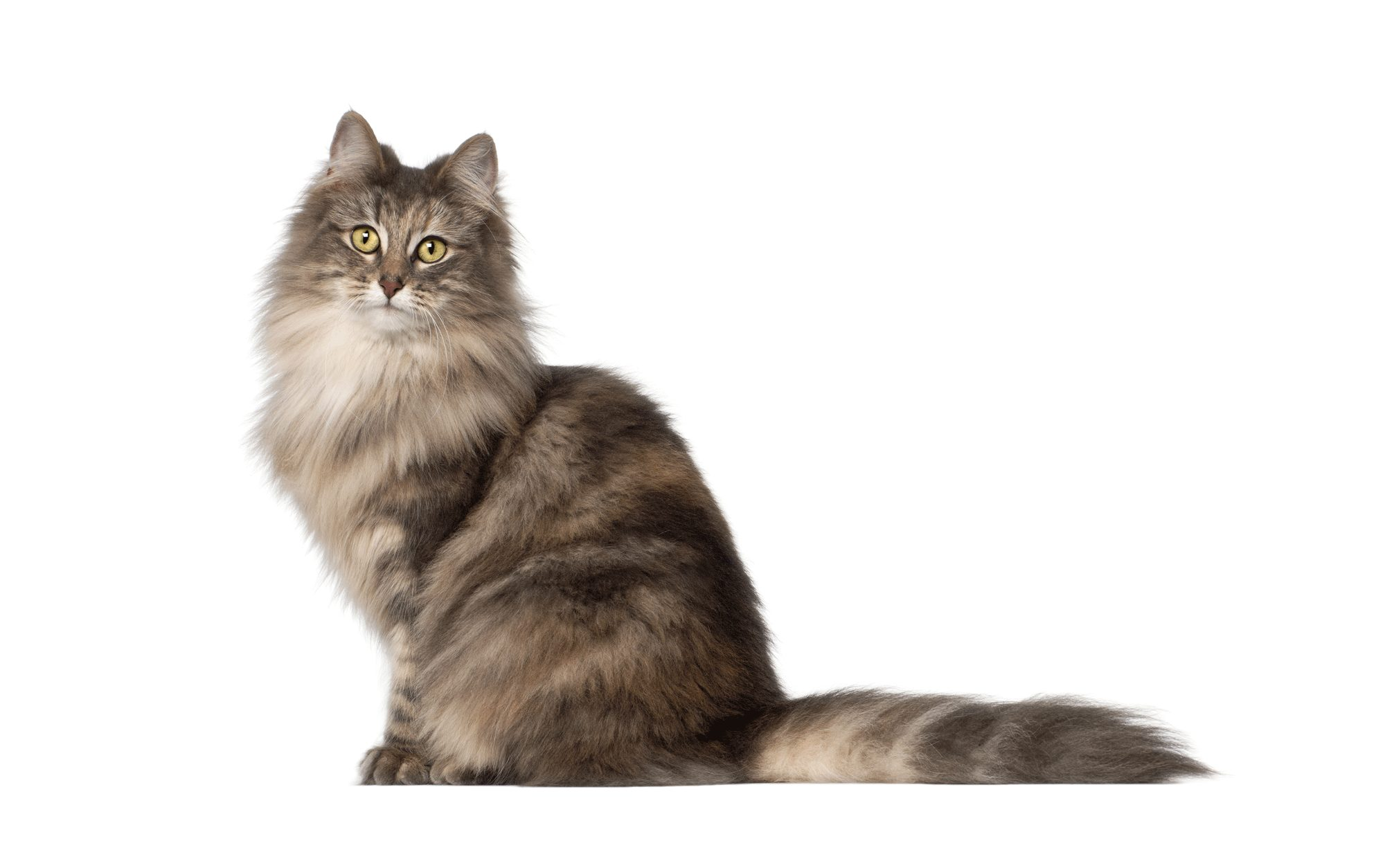 Norwegian Forest Cat Colors and Patterns