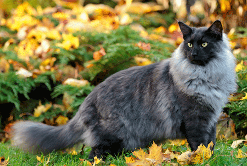 Norwegian Forest Cat Colors