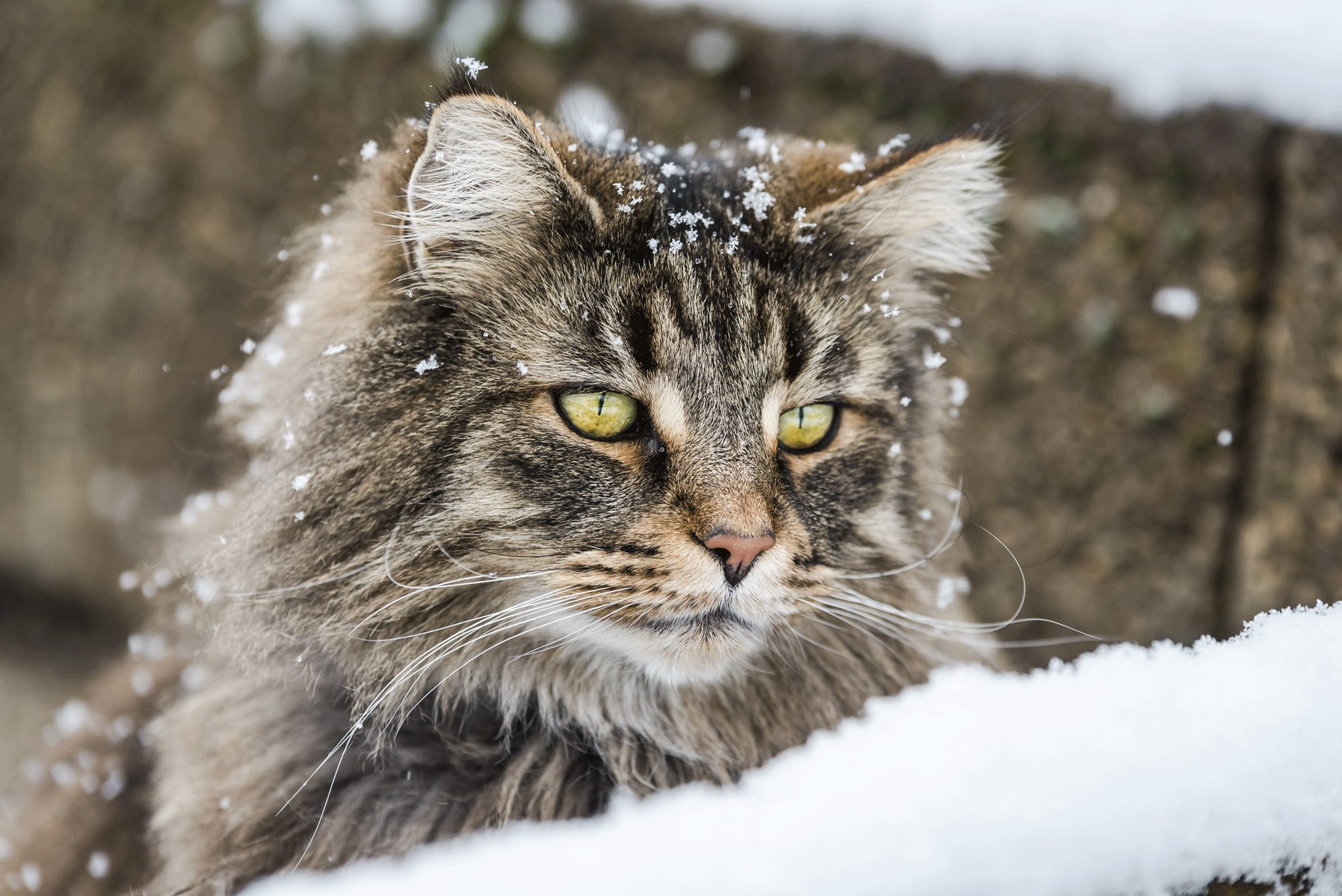 History of the Norwegian Forest Cat