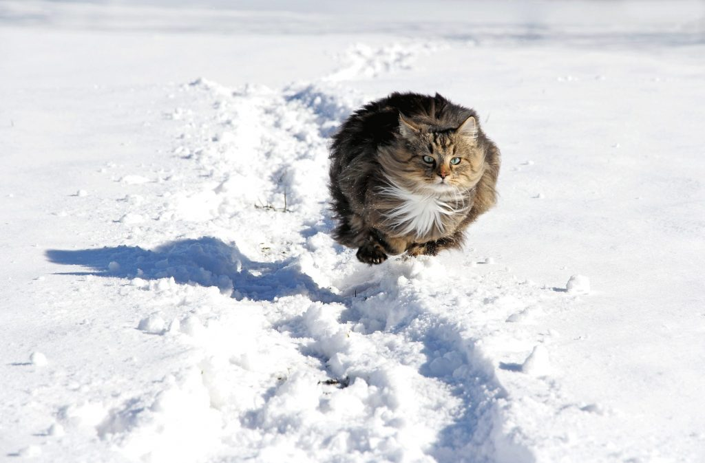 Norwegian Forest Cat Jumping