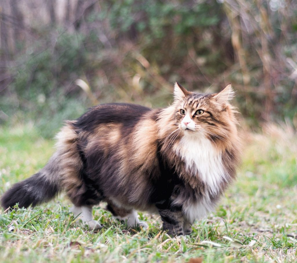 Norwegian Forest Cat Size